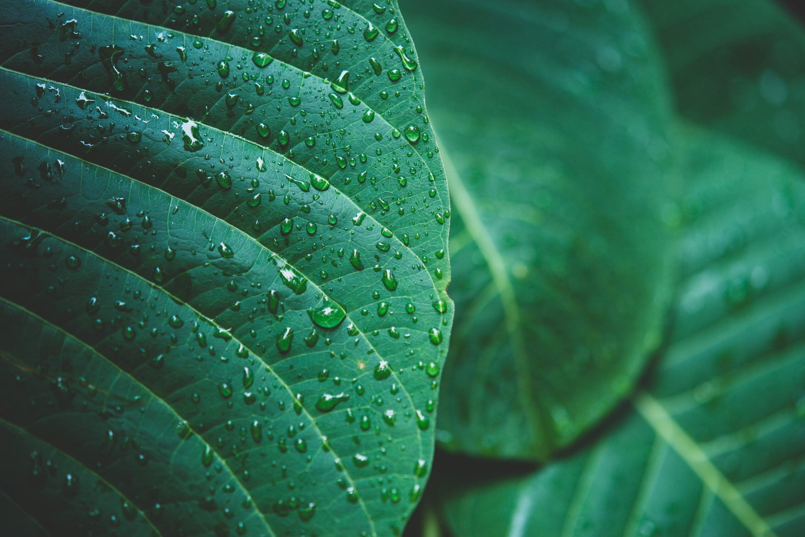 rain water on a green leaf macro. Drops of dew in the morning