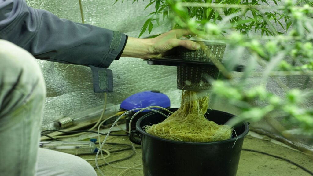 Cannabis roots breathe oxygen like we do! The roots are the veins of life that feed a plant the water and nutrients
