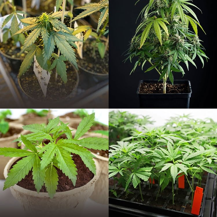 Cannabis Pots Categories Collage 2 - HC Companies
