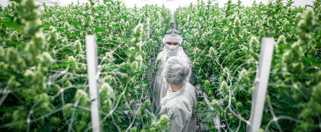 Growing Quality Cannabis from Start to Finish Perspectives from Passionate Experts
