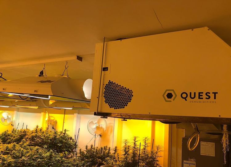 Growing in a series of highly controlled rooms allows producing top-quality cannabis plants.