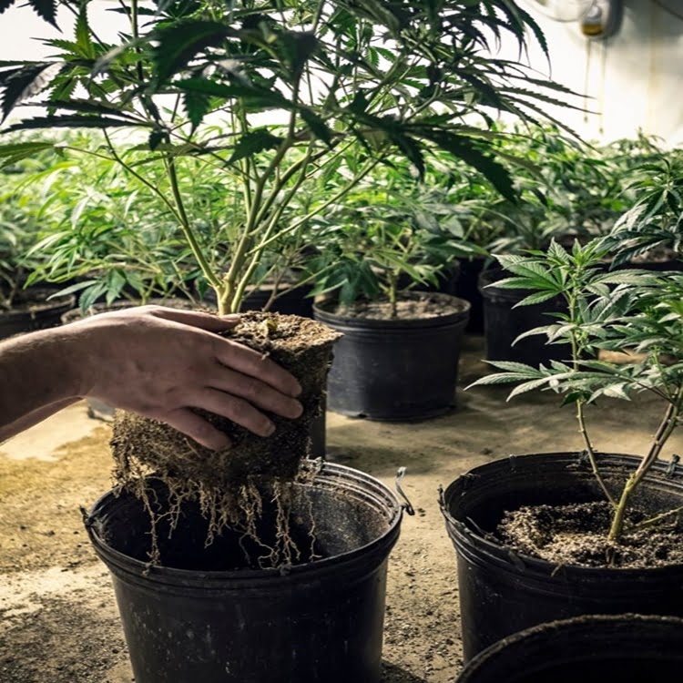 Healthy roots mean healthier plants! And roots are the foundation from which your cannabis grows
