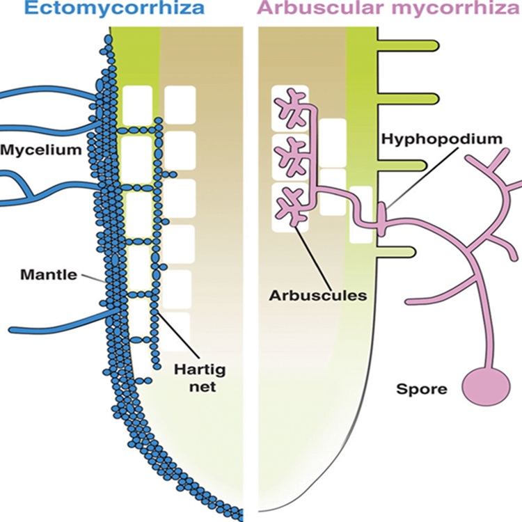 Illustration of root colonization structures in ectomycorrhizal and arbuscular mycorrhizal interactions