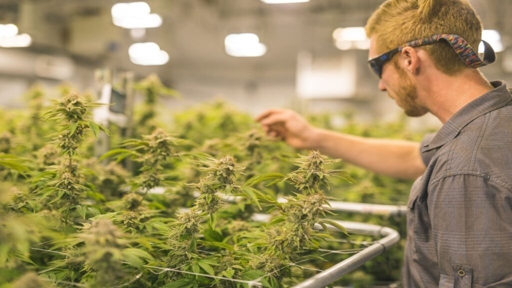 In addition, keeping record of our plants will not only help in growing cannabis healthy but also achieve bigger and more consistent yields.