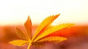 Photosynthesis - Cannabis Leaf