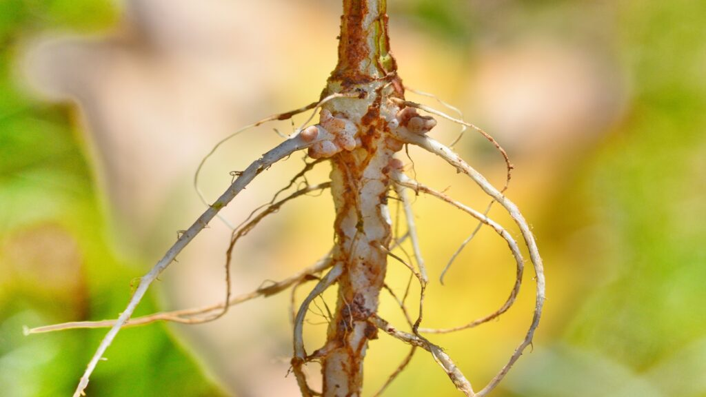 Rhizobia are of agricultural and ecologically important as the play a huge role on plant's growth and development.