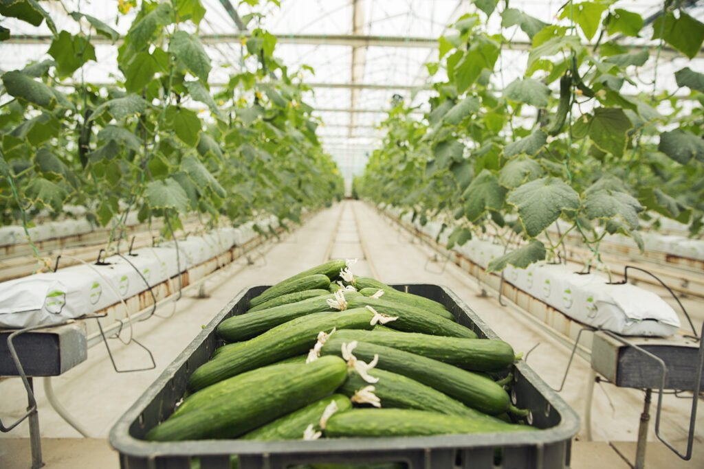 fresh-cucumber-gathered-into-plastic-box-from-greenhouse-plants