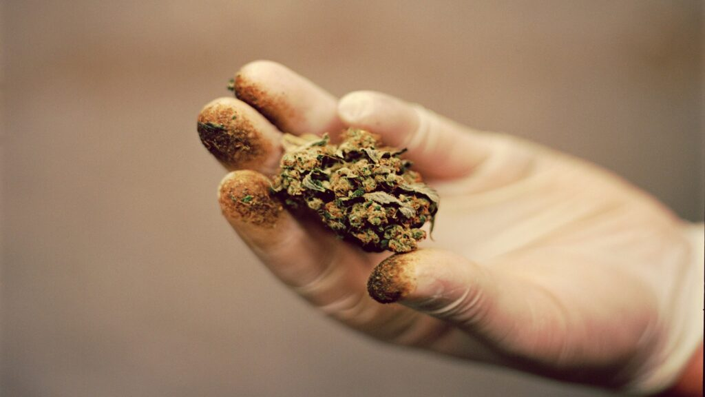2 A cannabis worker cradles the resin dusted bud which can also smudge to your protective eyewear.