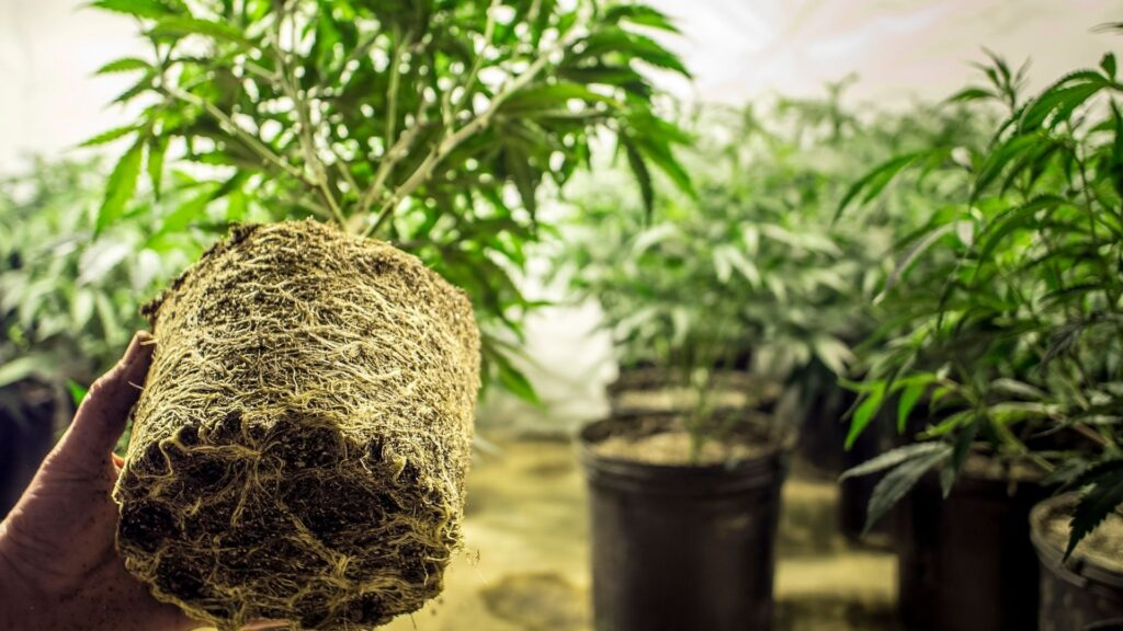 Healthy roots mean healthier plants! And roots are the foundation from which your cannabis grows.