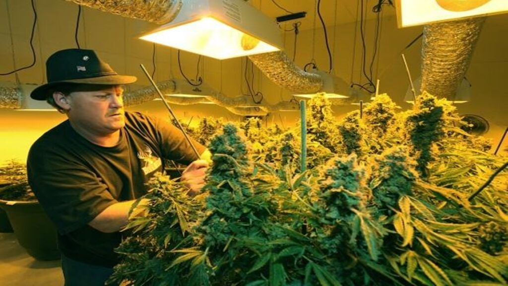 2 Under bright grow room an HPS eyewear is recommended for employee or grower for better and safety purposes