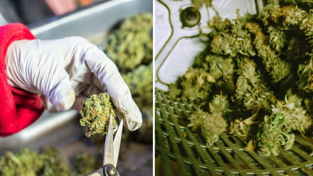 Cannabis buds can be trimmed either manually by hand or by machine both have very helpful to produce quality products and volume.