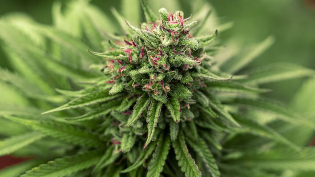 Boosting Cannabis Plant Yields And Health With A Billion Year Old Technology - Cannabis Plant