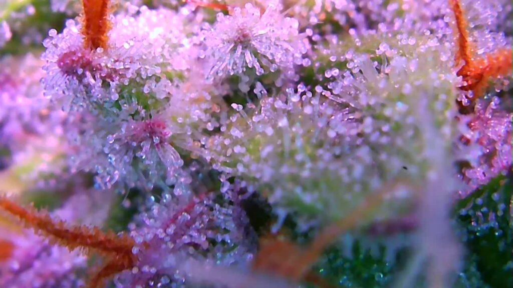 Iranian OG Kush strain being tested for areoponic and RDWC system and techniques Credit Meurig Murray